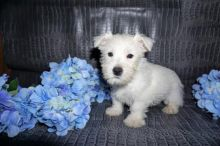 Exceptional Westie Pups to Approved Homes ONLY!