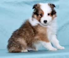 Only 2 left! Adorable Sheltie Puppies!