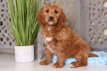 Owen - Awesome Golden Doodle :Call or Text (709)-500-6186 or ( mispaastro@gmail.com )