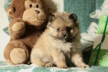 Pomeranian Puppies-Fully Vaccinated