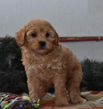 Quality Cavapoo, males and females