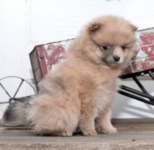 Quality Pomeranian, males and females