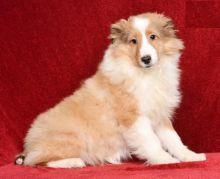 Quality Sheltie, males and females