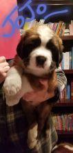 Saint Bernard Puppies :Call or Text (709)-500-6186 or ( mispaastro@gmail.com )