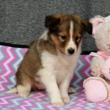 Sheltie Puppies-Fully Vaccinated