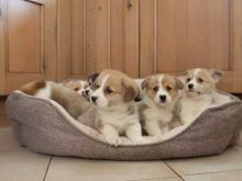 Beautiful Pembrokeshire Corgi Puppies Email at [ddanila717@gmail.com] Image eClassifieds4U
