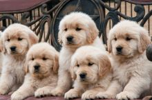 CKC Registered Golden Retriever Puppies For Sale :Call or Text (709)-500-6186