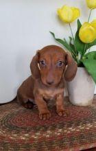 Beautiful Dachshund Puppies (CKC Registration)
