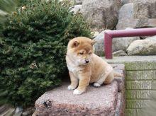 Beautiful Shiba Inu Puppies (CKC Registration)