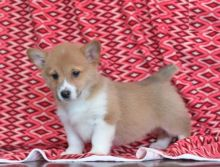 Exceptional Corgi Pups to Approved Homes ONLY!