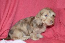 Exceptional Dachshund Pups to Approved Homes ONLY!