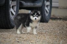 Exceptional Pomsky Pups to Approved Homes ONLY!