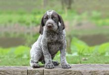 German Shorthaired Pointer Puppies:Call or Text (709)-500-6186 or ( mispaastro@gmail.com )