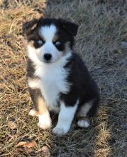 Miniature Australian Shepherd puppies looking for forever homes.:Call or Text (709)-500-6186