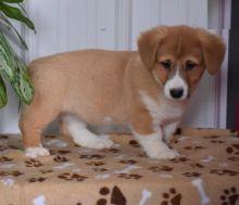 Only 2 left! Adorable Corgi Puppies!
