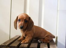 Only 2 left! Adorable Dachshund Puppies!