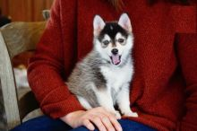 Only 2 left! Adorable Pomsky Puppies!