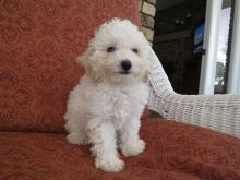Outstanding Cute And Lovely Toy Poodle Puppies Ready Now :Call or Text (709)-500-6186