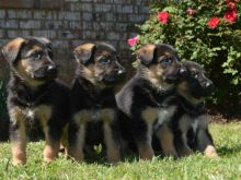 Outstanding Train German Shepherd Dog Puppies Ready For Sale :Call or Text (709)-500-6186