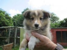 Well train Shetland Sheepdog Ready For Sale Now:Call or Text (709)-500-6186 or ( mispaastro@gmail.c