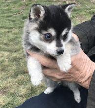 Black/Grey/White Alaskan Klee Kai Puppies.. three boys and two girlz available Text (709)-500-6186