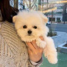 ☂️ ☂️ ☂️ Ckc ☂️ Bichon Frise ☂️ Puppies ☂️ ☂️ ☂️Email at us�