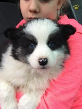 ☂️ ☂️ ☂️Remarkable Ckc Pomsky Puppies For Adoption
