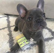 ☂️ ☂️ ☂️ Smart Ckc French Bulldog Puppies For Adoption ☂️ ☂️ ☂️