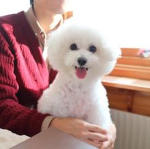 🐾💝🐾 Staggering 🐾💝🐾  Ckc Bichon Frise Puppies Available🐾💝
