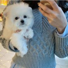 Top Quality Bichon Frise Puppies for re homing Text at : 678-871-7681
