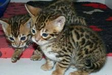 2 Adorable Bengal Kittens ready (805) 751-3818
