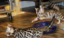Beautiful Bengal Kittens (805) 751-3818