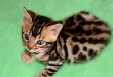 Bengal and Savannah kittens ready (805) 751-3818