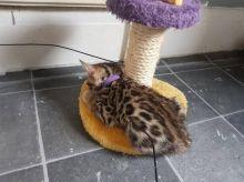 Outstanding Bengal Kitten Sale