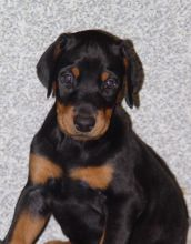 Ready Now Doberman Pinscher Puppies For Sale :Call or Text (709)-500-6186