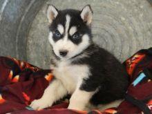 Siberian Husky pups for adoption : Text us for details via 204-818-7045