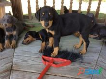 These adorable Doberman pups :Call or Text (709)-500-6186