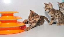TICA registered Bengal Kittens available for adoption.(805) 751-3818