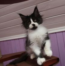 Adorable 12 weeks old Maine Cool kittens available.