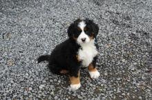 Bernese Mountain Puppies