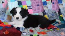 Border Collie Puppies