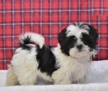 Healthy Shih Tzu Puppies Available