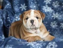 Cute English Bulldog Puppies Available