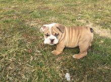 English Bulldog Puppies Available