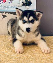 Healthy Siberian Husky Puppies Available