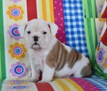 Quality English Bulldog Puppies Available
