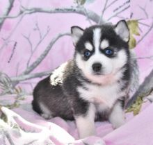 Quality Pomsky Puppies Available