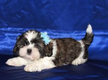 Quality Shih Tzu Puppies Available