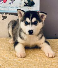 Healthy Siberian Husky Puppies Available Image eClassifieds4U