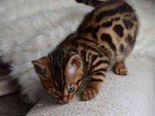 ✔ ✔✔ ✔Beautiful Bengal kittens contact 704) 471-8924✔ ✔✔ ✔